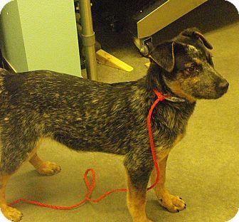 Cattle Dog Mix Puppy for adoption in Farmington, New Mexico - Queenie