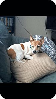 Jack Russell Terrier Mix Dog for adoption in Va Beach, Virginia - Rusty