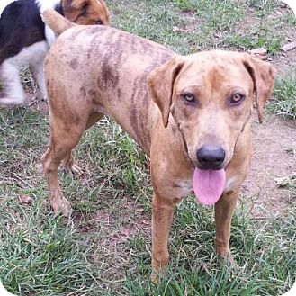 Catahoula Leopard Dog/Labrador Retriever Mix Puppy for adoption in Kittery, Maine - Andrea