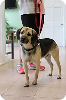 Hound (Unknown Type)/Shepherd (Unknown Type) Mix Dog for adoption in Richmond, Virginia - Dewey