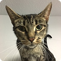 Adopt A Pet :: Sybil - Medina, OH