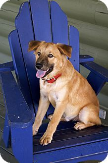 Border Collie/Chow Chow Mix Dog for adoption in Staunton, Virginia - cocoa