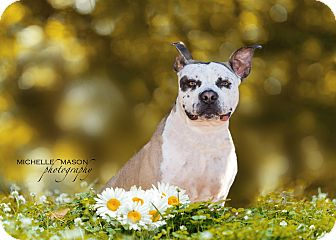 American Staffordshire Terrier Mix Dog for adoption in Naperville, Illinois - Charlie