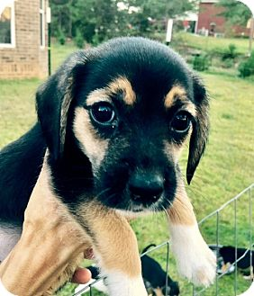 Beagle Mix Puppy for adoption in Portsmouth, New Hampshire - Feisty-ADOPTION PENDING