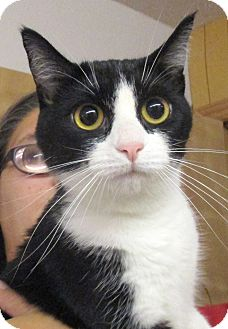 Domestic Shorthair Cat for adoption in Reeds Spring, Missouri - Penny