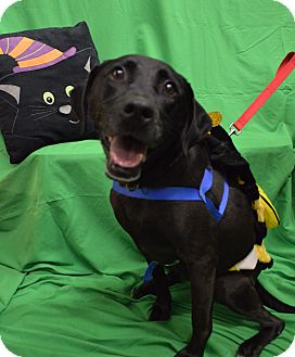 Labrador Retriever Mix Dog for adoption in Monroe, Michigan - Chloe
