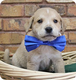 Retriever (Unknown Type) Mix Puppy for adoption in Benbrook, Texas - Ace