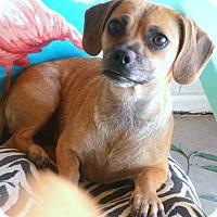 Adopt A Pet :: Posie - Phoenix, AZ