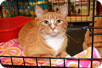 Domestic Shorthair Cat for adoption in Rochester, Minnesota - Pixie