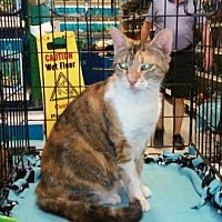 Calico Cat for adoption in Houston, Texas - Chloe