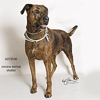 Adopt A Pet :: BULLET - Corona, CA