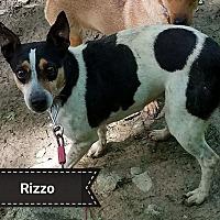 Rat Terrier Dog for adoption in Cincinnati, Ohio - Rizzo