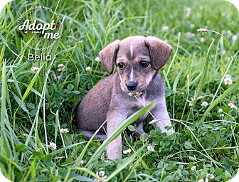 Border Terrier/Beagle Mix Puppy for adoption in Middletown, Delaware - Bella
