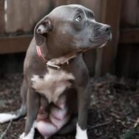 Adopt A Pet :: Snow White - Eugene, OR