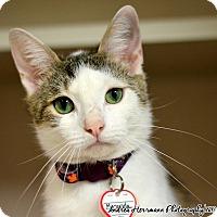 Domestic Shorthair Cat for adoption in East Hartford, Connecticut - Miranda
