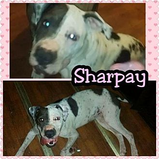 Shar Pei Mix Dog for adoption in Phoenix, Arizona - Sharpay