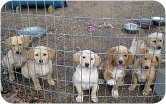 Labrador Retriever Mix Puppy for adoption in Tahlequah, Oklahoma - Beautiful Baby F