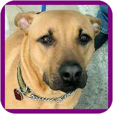 American Pit Bull Terrier/Shepherd (Unknown Type) Mix Dog for adoption in Los Angeles, California - Kona