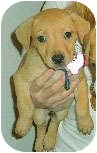 Labrador Retriever/American Pit Bull Terrier Mix Puppy for adoption in Mt. Prospect, Illinois - Spanky