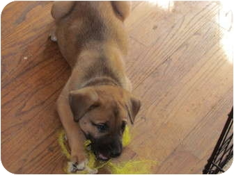 German Shepherd Dog Mix Puppy for adoption in Smithfield, North Carolina - Nugget