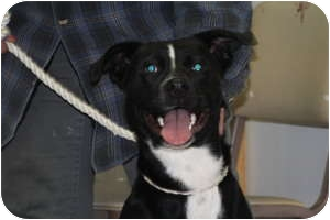 American Staffordshire Terrier/Labrador Retriever Mix Dog for adoption in Shelbyville, Kentucky - Buck
