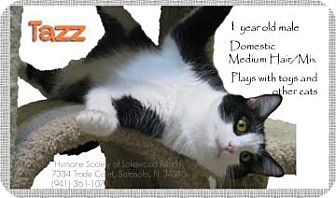 Domestic Mediumhair Cat for adoption in Sarasota, Florida - Tazz