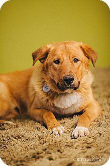 Golden Retriever/German Shepherd Dog Mix Dog for adoption in Portland, Oregon - Ajax