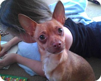 Chihuahua/Dachshund Mix Puppy for adoption in Crown Point, Indiana - Kipper