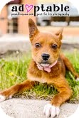 Lancashire Heeler Mix Puppy for adoption in Okotoks, Alberta - Dory