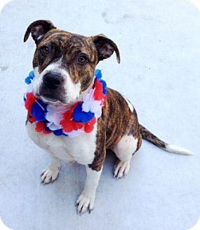 Pit Bull Terrier Mix Dog for adoption in Dublin, California - Panda