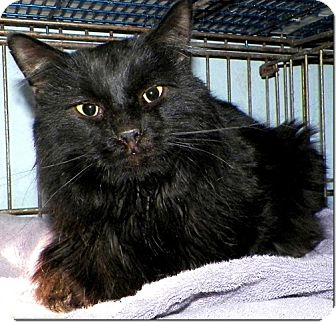 Domestic Longhair Cat for adoption in Sullivan, Missouri - Smokie Joe