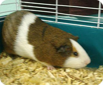 Guinea Pig for adoption in Daytona Beach, Florida - Brittany