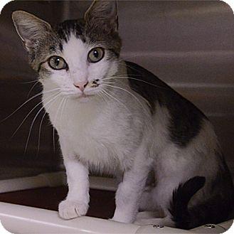 Domestic Shorthair Cat for adoption in Stillwater, Oklahoma - Cherish