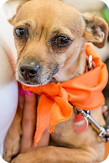 Chihuahua Mix Dog for adoption in Pitt Meadows, British Columbia - Cali