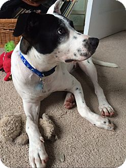 Pointer/Terrier (Unknown Type, Medium) Mix Dog for adoption in West Simsbury, Connecticut - Perfect Ciara