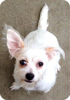 Terrier (Unknown Type, Small) Mix Dog for adoption in Lake Worth, Texas - Sugar