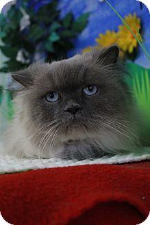 Himalayan Cat for adoption in Bradenton, Florida - Bailey