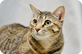 Domestic Shorthair Cat for adoption in Cary, North Carolina - Jala-Adopted