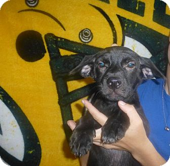 Corgi/Labrador Retriever Mix Puppy for adoption in Oviedo, Florida - Kona