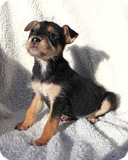 Jack Russell Terrier/Terrier (Unknown Type, Small) Mix Puppy for adoption in santa monica, California - Jill