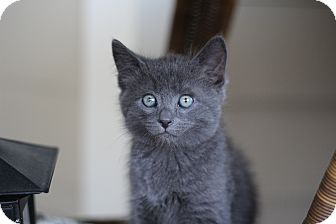 Domestic Shorthair Kitten for adoption in Richmond, Virginia - Sweetie Pie (The Pie Babies)