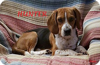 Beagle Dog for adoption in Ventnor City, New Jersey - HUNTER