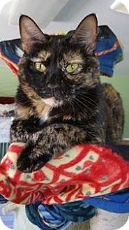 Domestic Shorthair Cat for adoption in Springfield, Vermont - Raisin