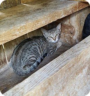 Domestic Shorthair Kitten for adoption in Waterbury, Connecticut - Lauren