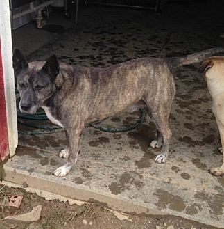 Dutch Shepherd Dog for adoption in Poland, Indiana - General