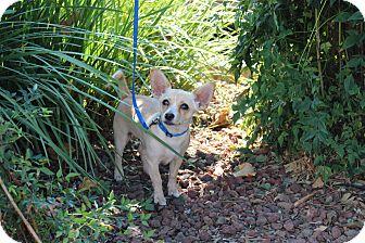 Chihuahua/Corgi Mix Puppy for adoption in Yuba City, California - Newton