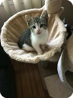 Domestic Shorthair Kitten for adoption in Old Bridge, New Jersey - Taco