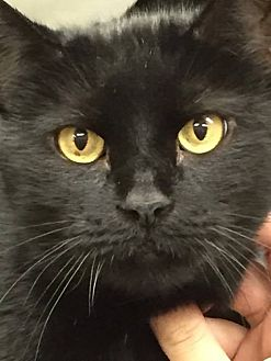 Domestic Shorthair Cat for adoption in Middletown, New York - Shadow