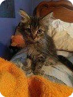 Domestic Mediumhair Kitten for adoption in Hampton, Virginia - JAN