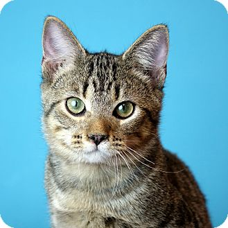 Domestic Shorthair Kitten for adoption in Columbia, Illinois - Patriot